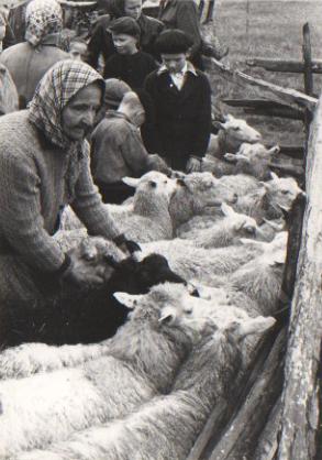 Väntelän vanha emäntä ottaa lammastaan jakoaitauksesta. Kuvan alkuperäinen ottaja Jorma Kauko. Kuva Hailuodon kotiarkistot.
