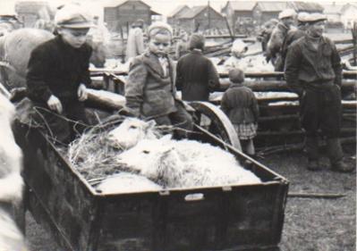 Omat lampaat ovat löytyneet ja nostettu kärryihin. Alkuperäinen valokuva Jorma Kauko. Kuvalähde Hailuodon kotiarkistot.