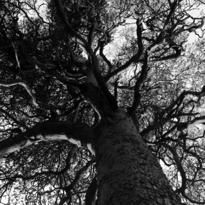 Askelinin sotamänty on vaikuttava näky. Kulku tämän rauhoitetun puun luokse kulkee Ryöppääntien kautta.